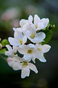 FlowersofAppleTreePasip