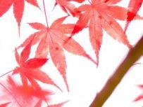 maple-leaves-1116091-mHirektasu