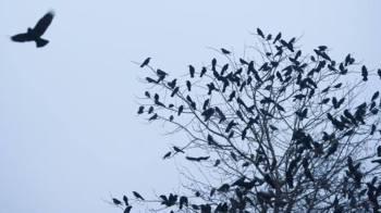 crowroostride